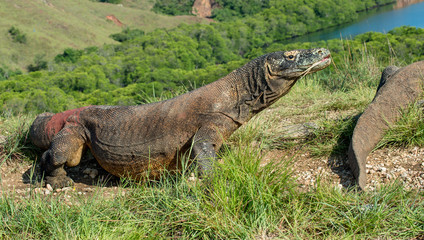 The Komodo dragon (Varanus komodoensis) in natural habitat on green natural background. It is the biggest living lizard in the world. Island Rinca. Indonesia.