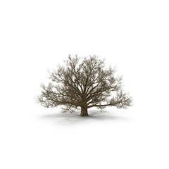 Winter Oak Tree Isolated on White 3D Illustration
