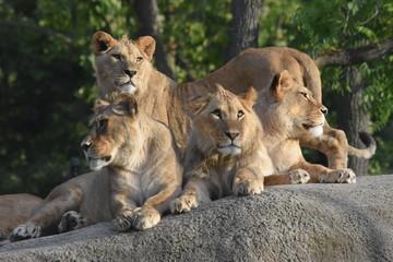 Famille de lions au soleil