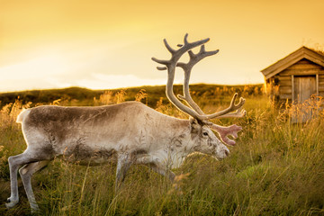 deer grazing in a meadow in  Lapland