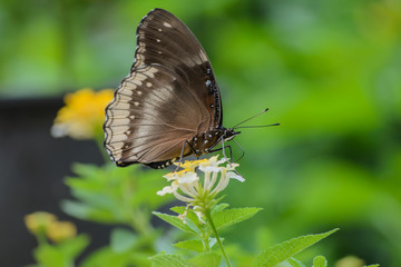 The butterfly is sipping nectar through its proboscis on flowers