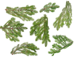 green lush isolated fir seven branches