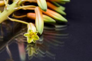 Aloe vera flower with details and dark background
