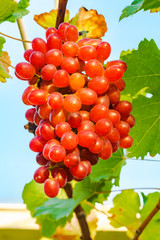 Fototapete - Bunch of Crimson Seedless Grapes