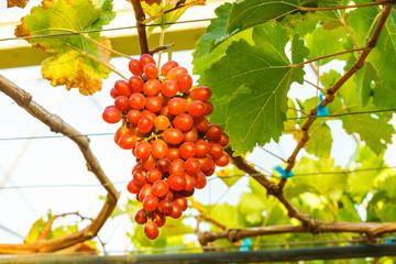 Fototapete - Crimson seedless grapes