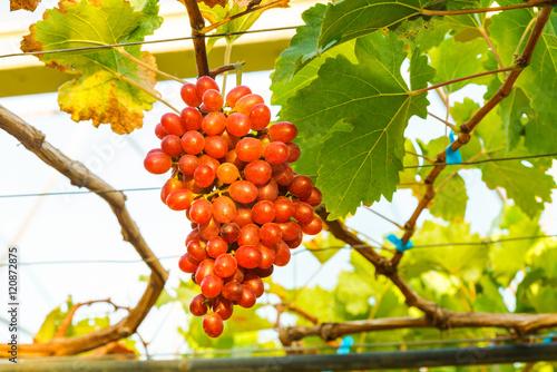 Fototapete Crimson seedless grapes