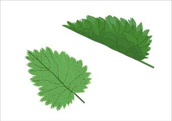 leaf of fresh nettle