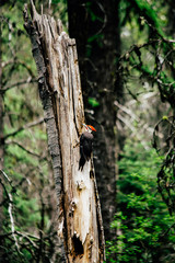 Woodpecker, Glacier National Park, Montana, Canada, United States of America