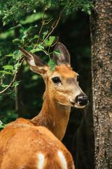 Deer portrait, Glacier National Park, Montana, Canada, United States of America