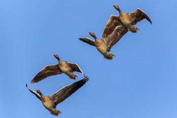 wild geese in flight