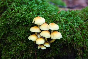 Setas en otoño con musgo en un bosque de hayas