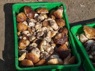 Сбор белых грибов в карпатских горах поставлен местным населением на промышленную основу
