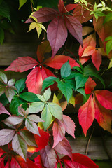 Colorful wild grape leaves in autumn