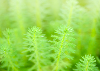 close up of  Myriophyllum aquaticum