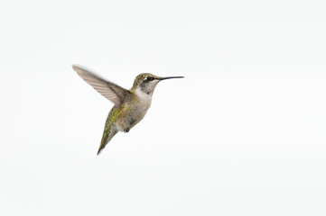 Ruby-throated Hummingbird on White Background