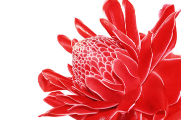 Torch Ginger, Etlingera elatior, zingiberaceae flower isolated o
