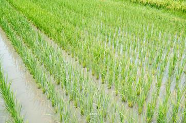 paddy rice farm under blue sky.