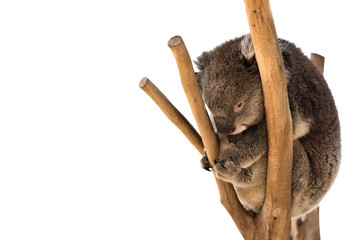 Australian koala on the tree isolated