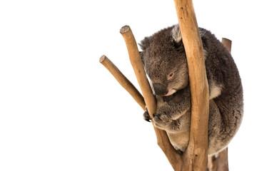 Garden Poster Koala Australian koala on the tree isolated