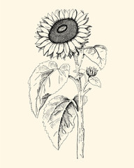 Hand drawn sunflower drawing