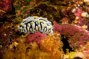 Yellow white nudibranch in the red sea