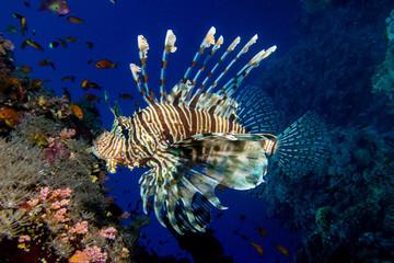 portrait of lionfish