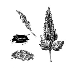 Quinoa vector superfood drawing. Isolated hand drawn  illustrati
