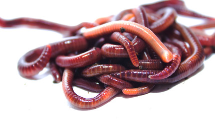 earthworm, lumbricus, isolated on white, focus on foreground, wh