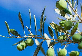 Fototapete - Green olives on branch