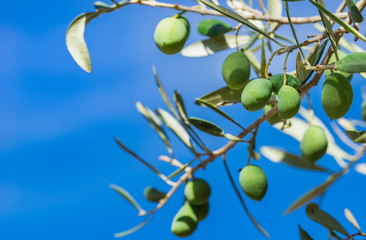 Wall Mural - Olives tree background