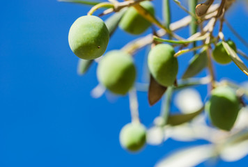 Fototapete - Green olives branch with blue sky background