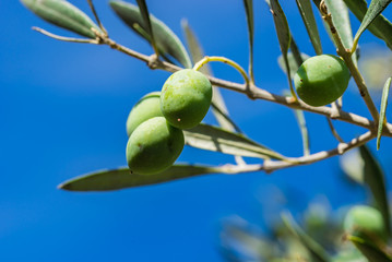 Fototapete - Oliven Öl Frucht Grün Olivenbaum Zweig