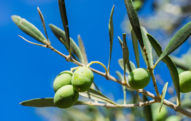 Wall Mural - Green olives fruit branch