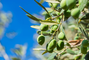 Fototapete - Olivenbaum Mediterran Süden