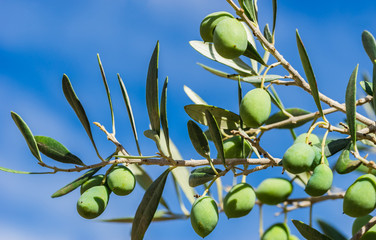 Wall Mural - Olives plant green fruit at branch background