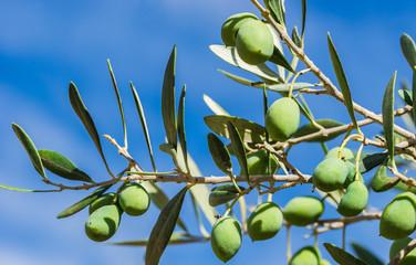Fototapete - Olives plant green fruit at branch background