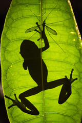Gotcha -Frog's shadow on green leaf with one hand on crane fly
