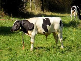Cow grazing on meadow on farm