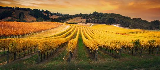 Fototapete - Golden Morning Vineyard