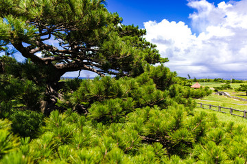 Ryukyu pine, landscape. Okinawa, Japan, Asia.