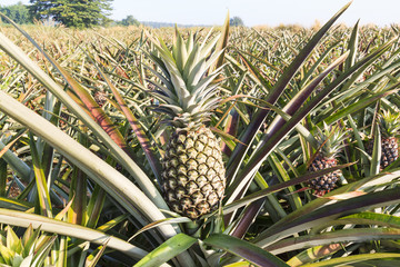 Close-up of green pineapple in the field