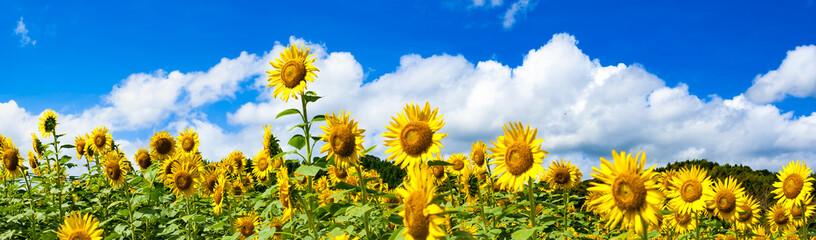 ひまわり畑の夏の雲