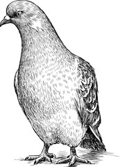 sketch of a pigeon
