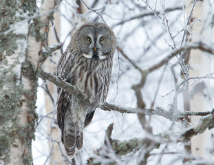 Great Grey Owl perched in a tree in winter, Finland.