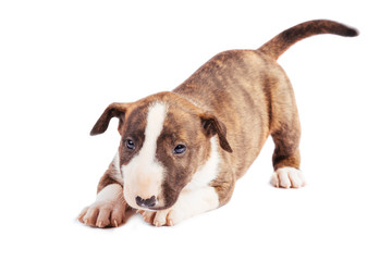 Bull Terrier puppy on the white background