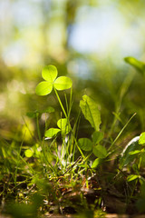 Clovers growing in nature