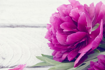 Pink peony flower on turquoise rustic wooden background