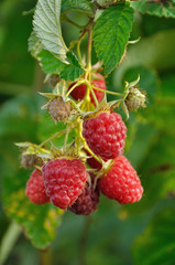September branch of raspberry