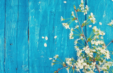 Blooming cherry on turquoise rustic wooden background.Spring bac