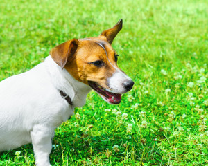 Dog breed Jack Russell Terrier playing in the bright grass close-up